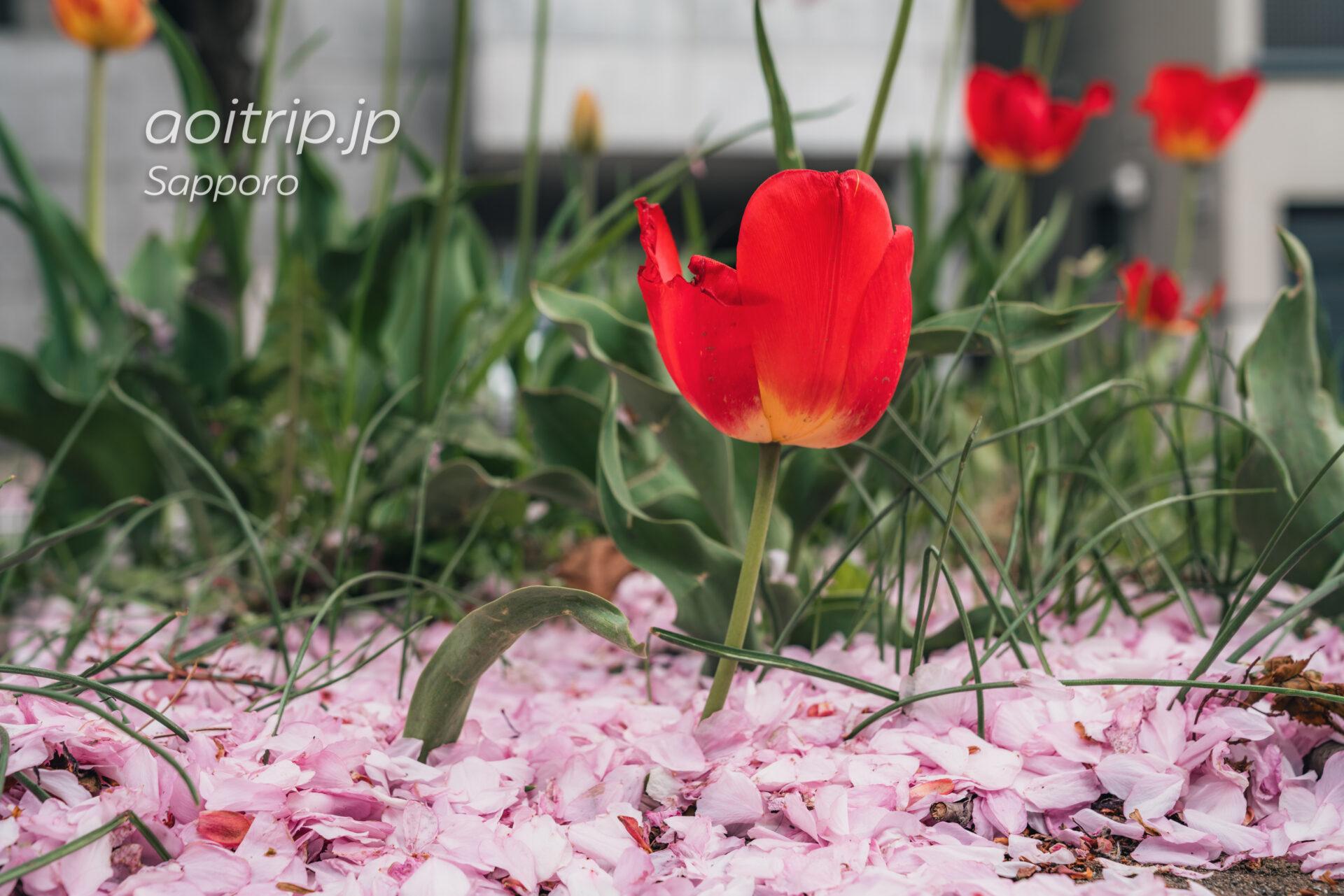 札幌 南4条線の八重桜の散った花びらの絨毯と沿道に咲くチューリップ
