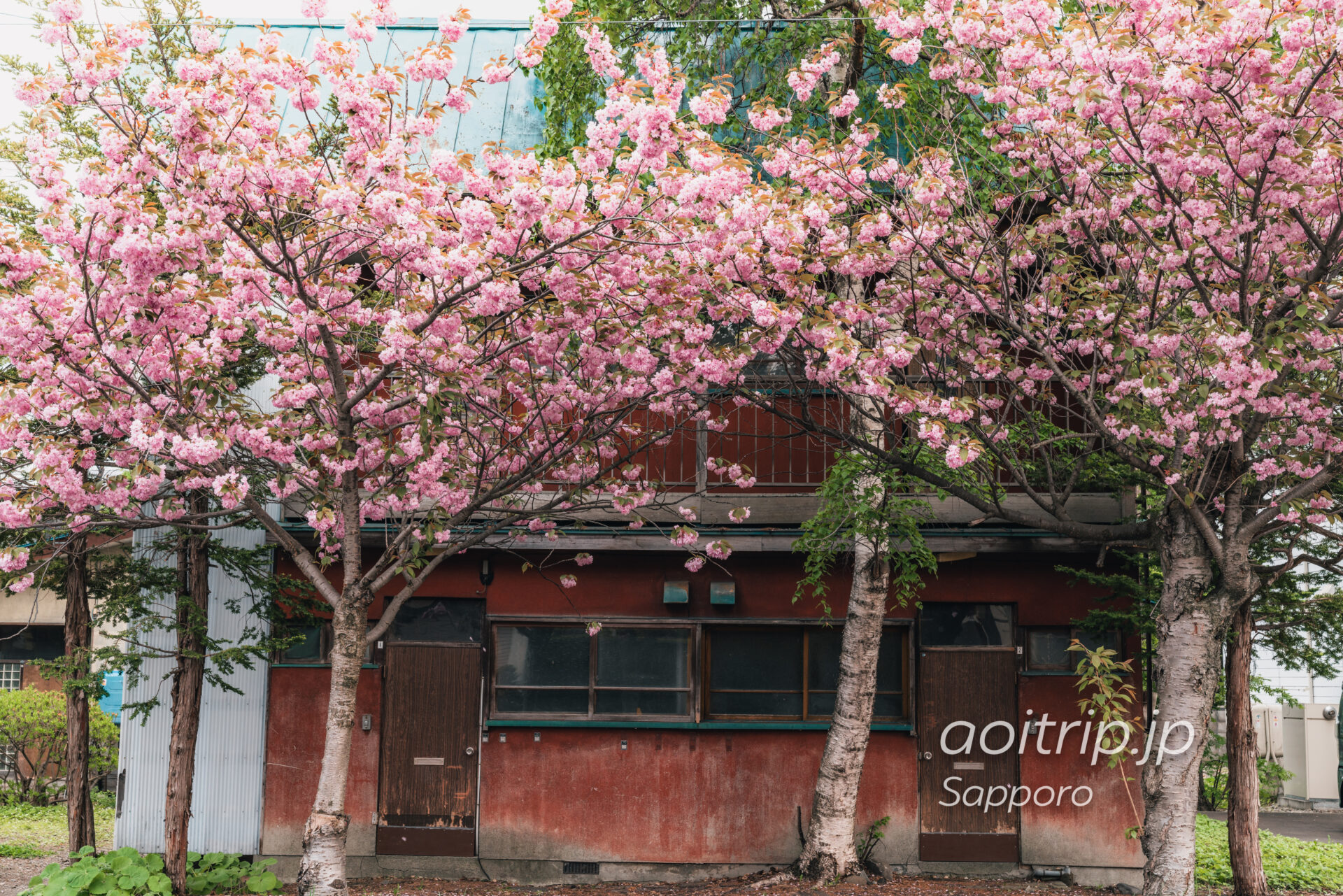 札幌 南4条線の八重桜並木 Double Cherry Blossoms
