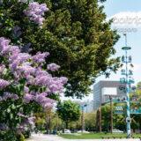 札幌大通公園西11丁目 ライラックの花とマイバウム