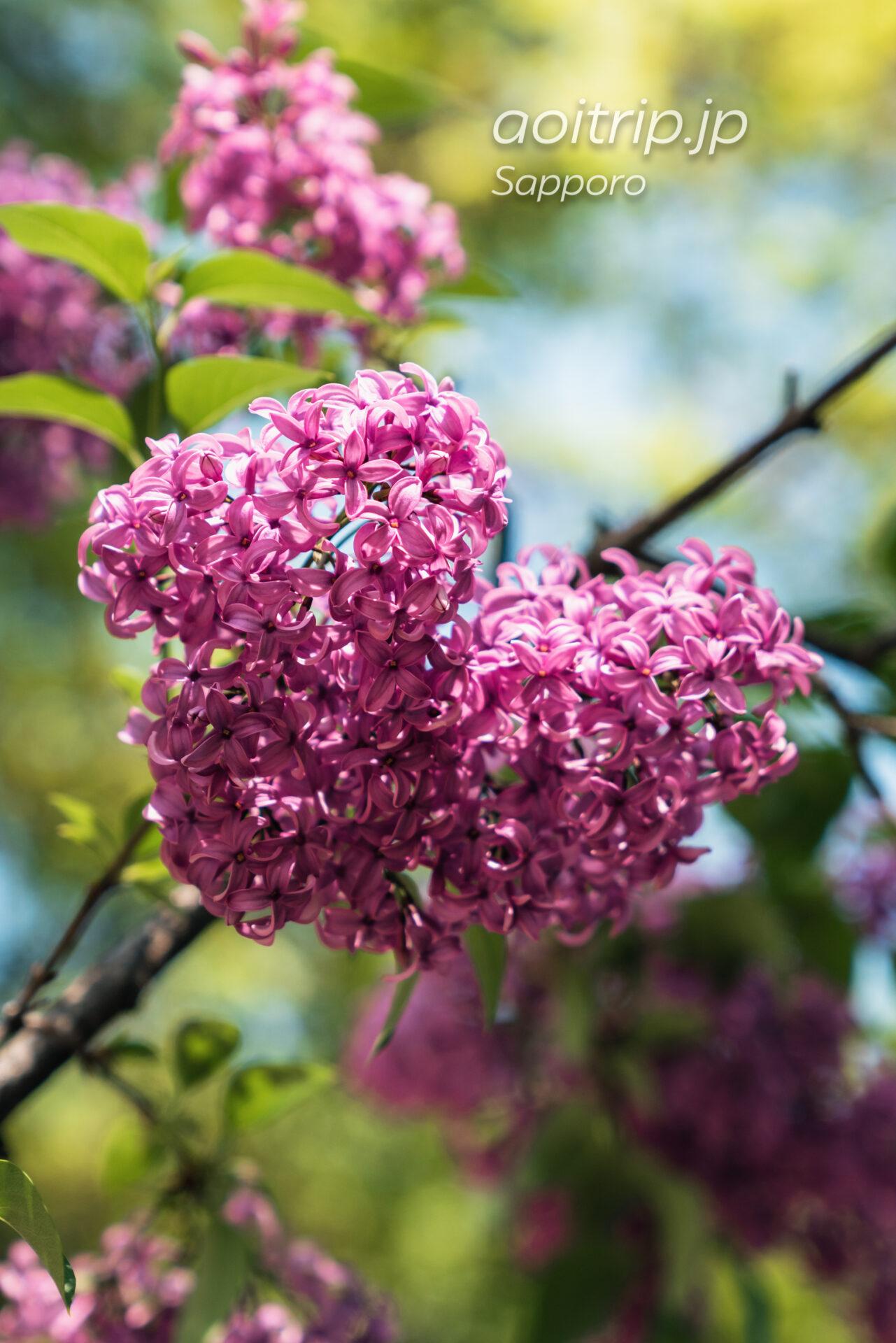 札幌大通公園 ライラックの花