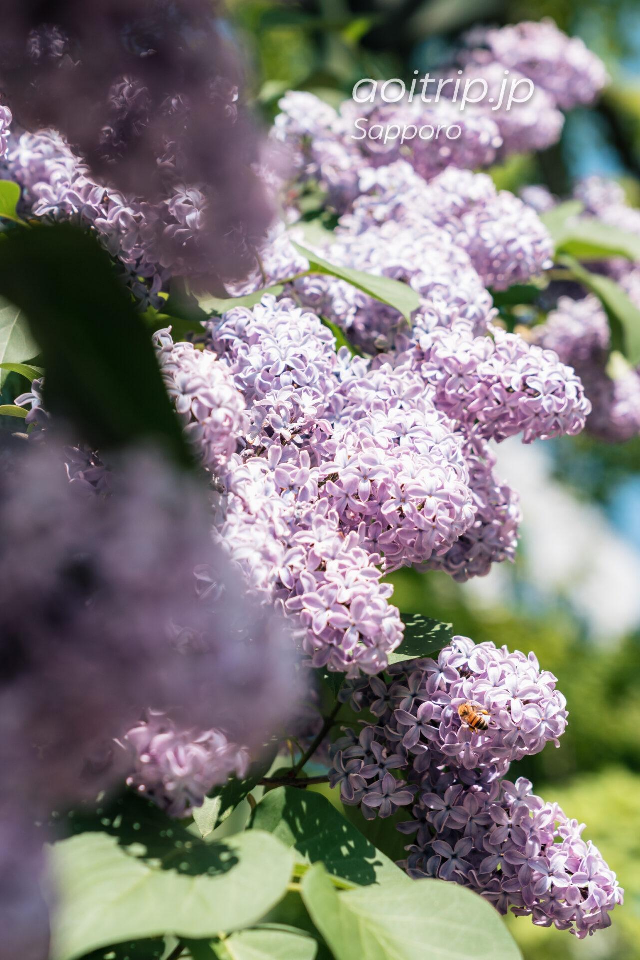 札幌大通公園 ライラックの花とミツバチ