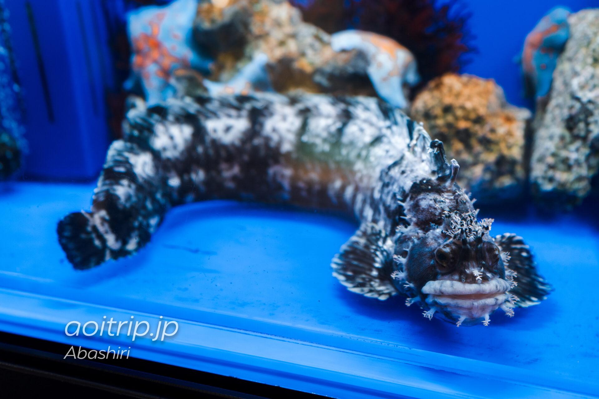 網走のオホーツク流氷館 Okhotsk Ryu-hyo Museum 流氷の海の生きもの Fish Tank with Life フサギンポ
