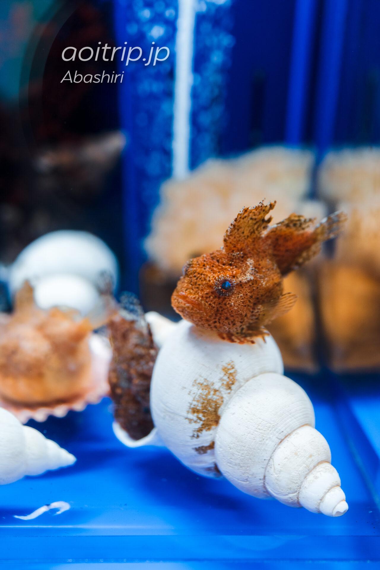 網走のオホーツク流氷館 Okhotsk Ryu-hyo Museum 流氷の海の生きもの Fish Tank with Life フウセンウオ