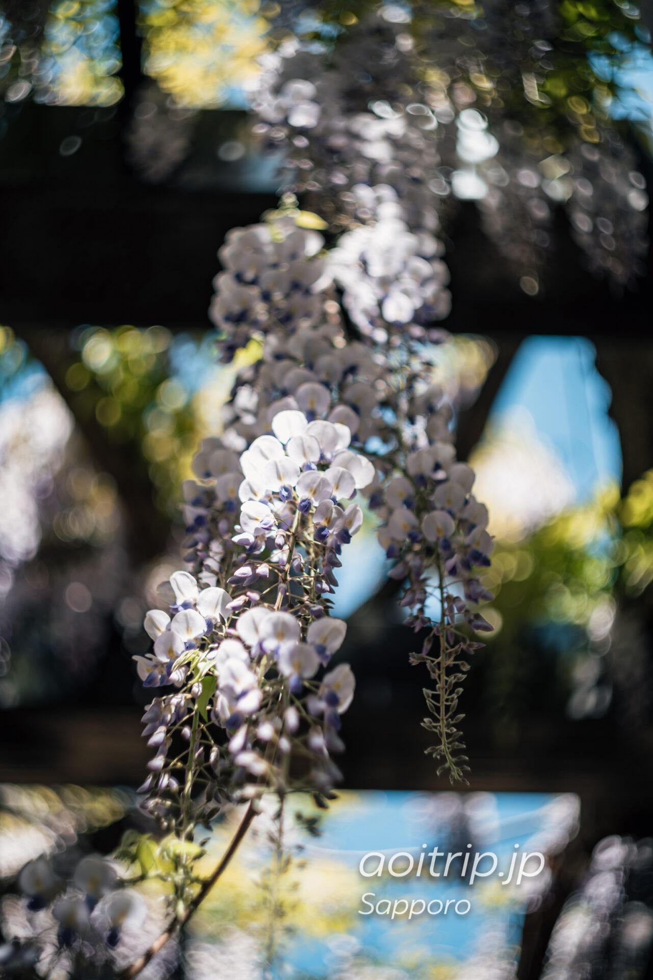 札幌市豊平区 天神山緑地の天神藤