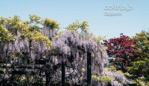 札幌の天神藤 北海道最古の藤棚と天神山緑地 Tenjin Fuji, Sapporo
