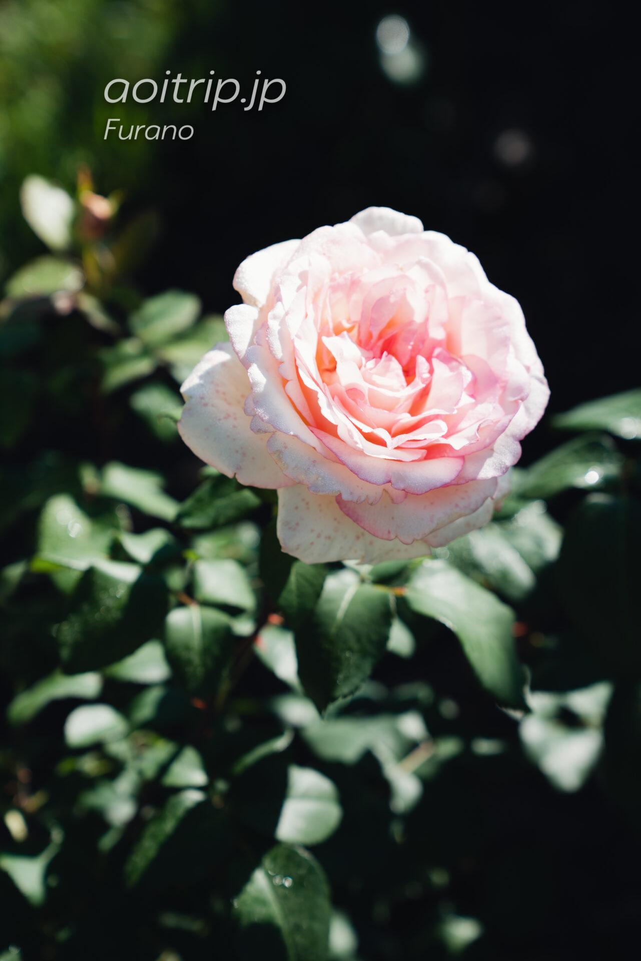風のガーデン 薔薇の庭 ルイの涙
