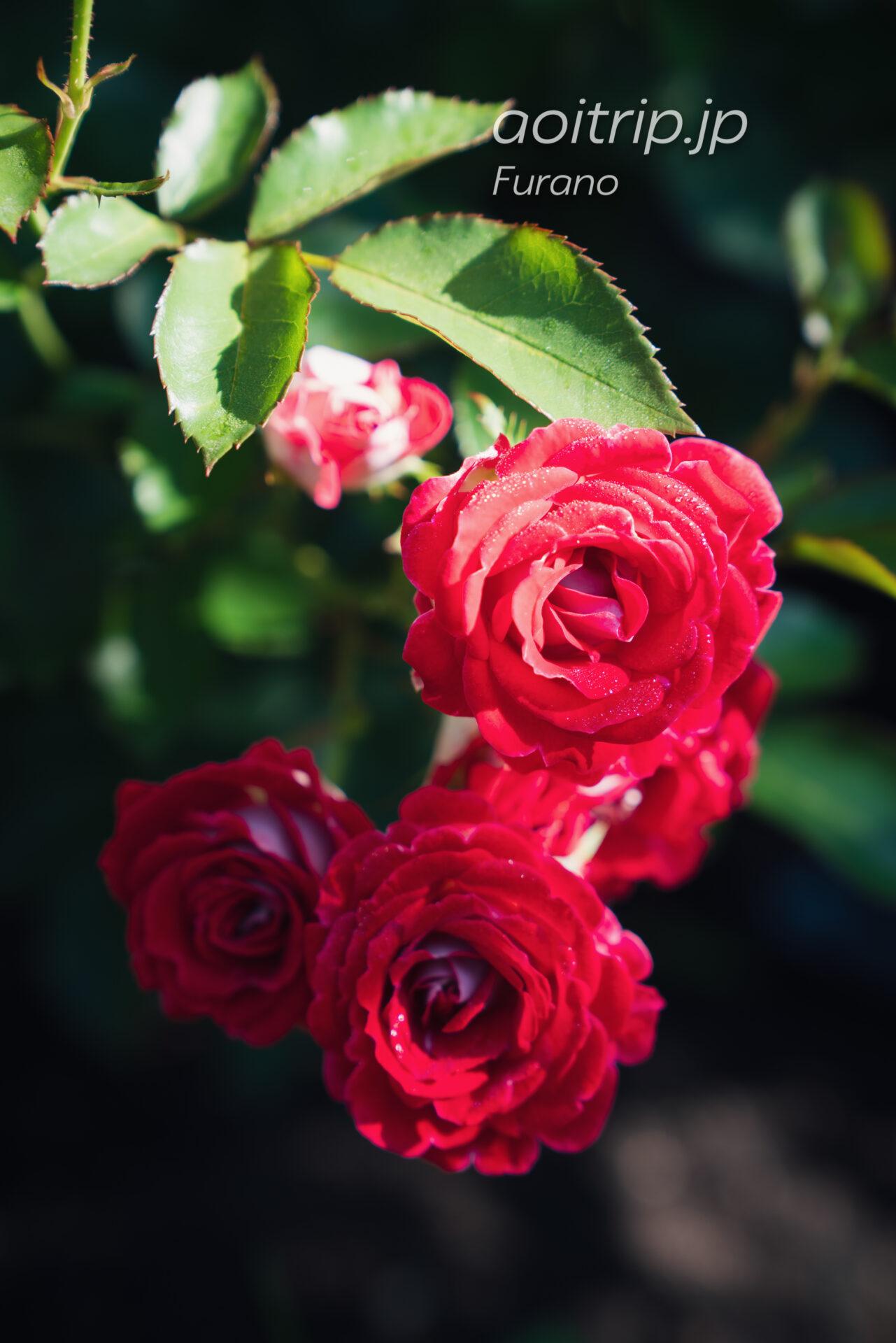 風のガーデン 薔薇の庭 岳の夢