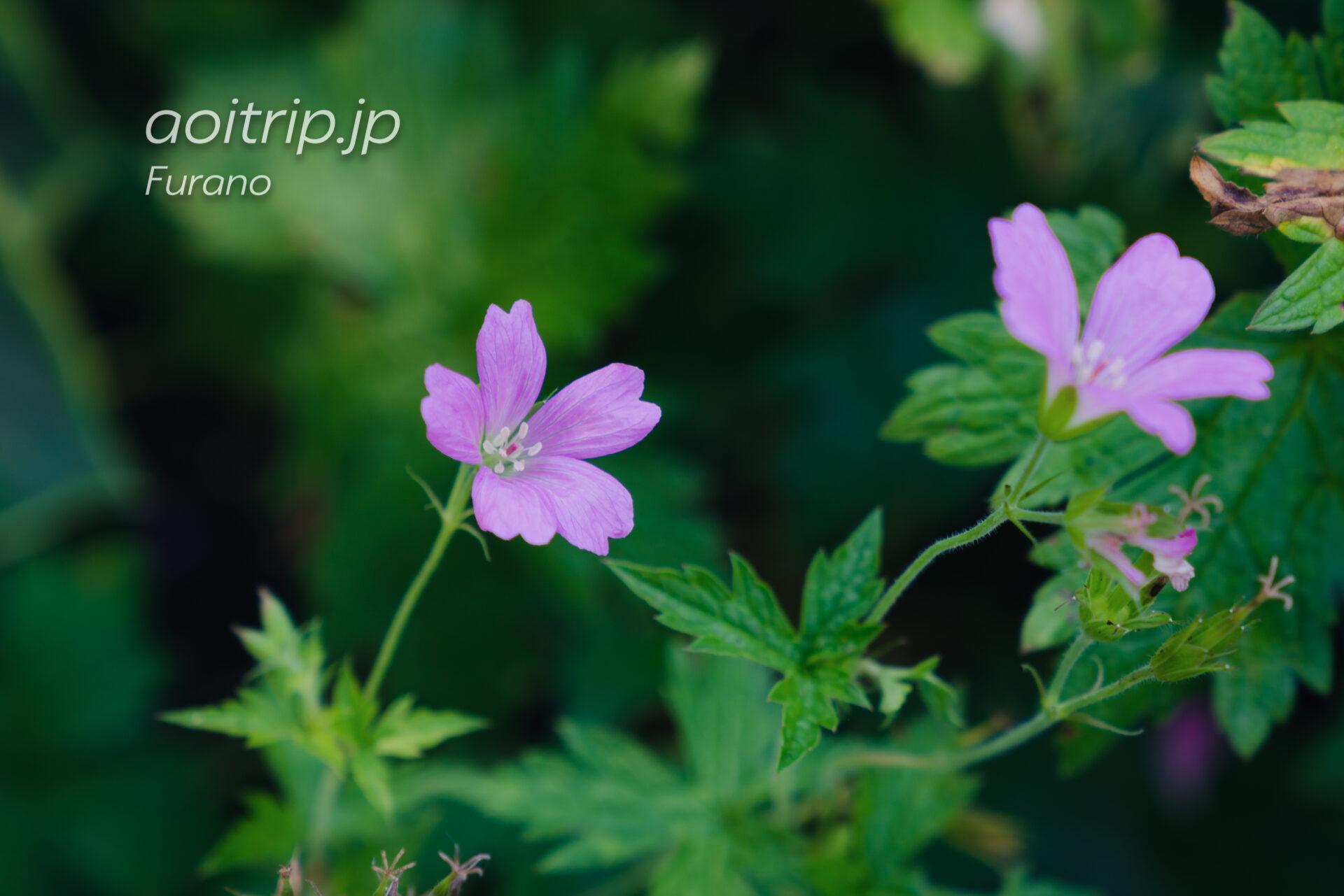 ゲラニウム エンドレッシー(Geranium endressi)