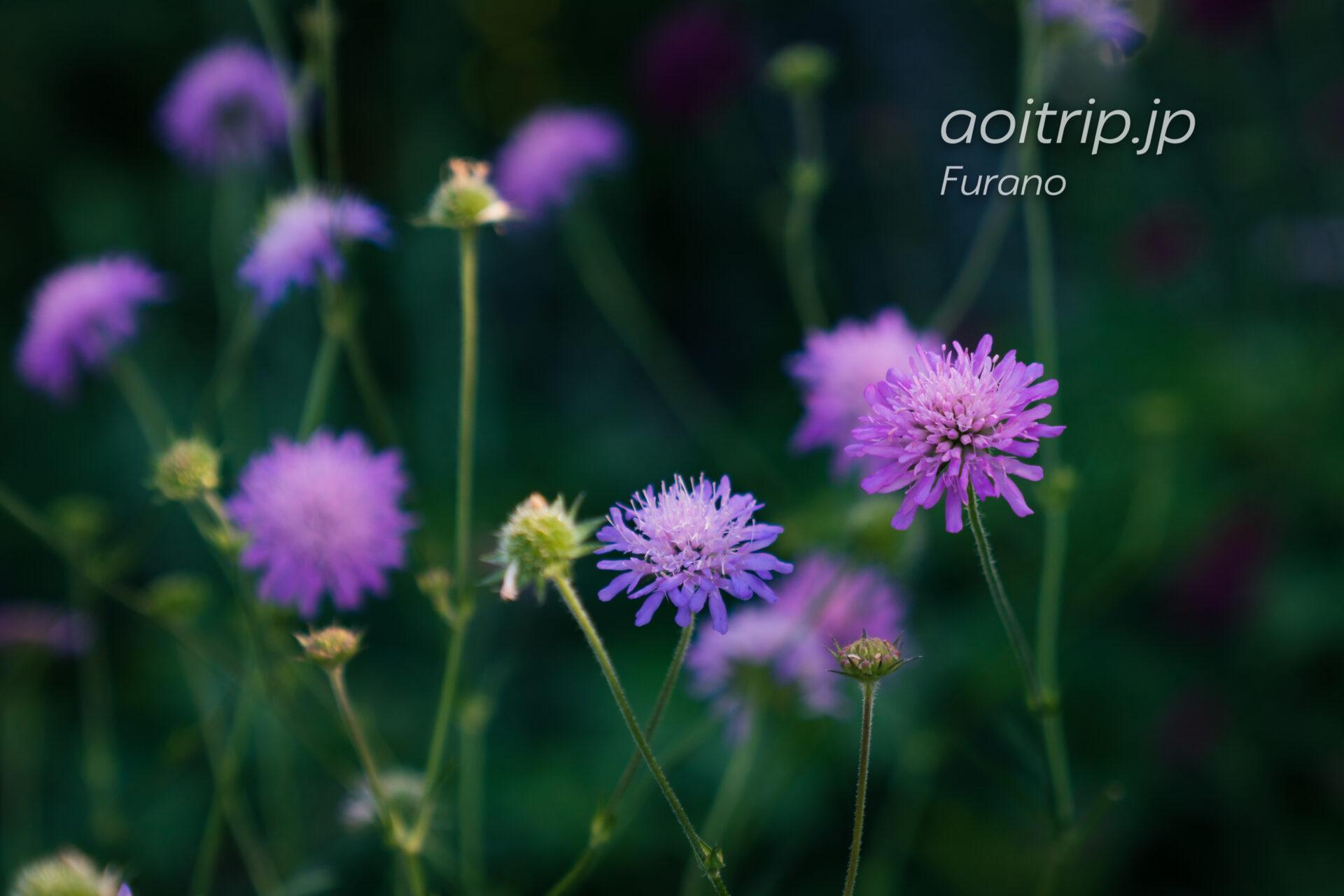 ノーティア アーベンシス(Knautia arvensis)