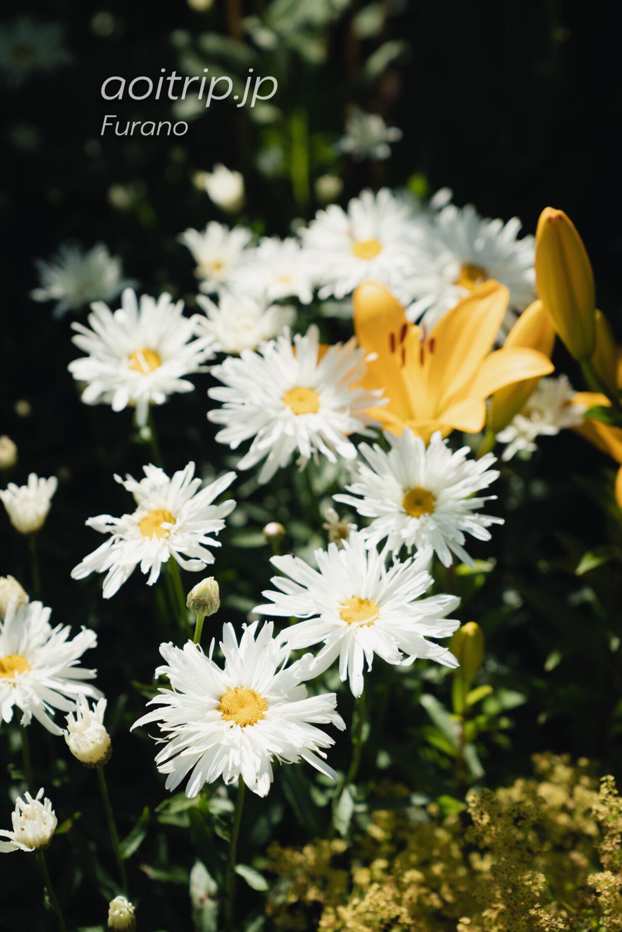 クリサンセマム スノードリフト(Chrysanthemum coccineum 'Snow Drift')