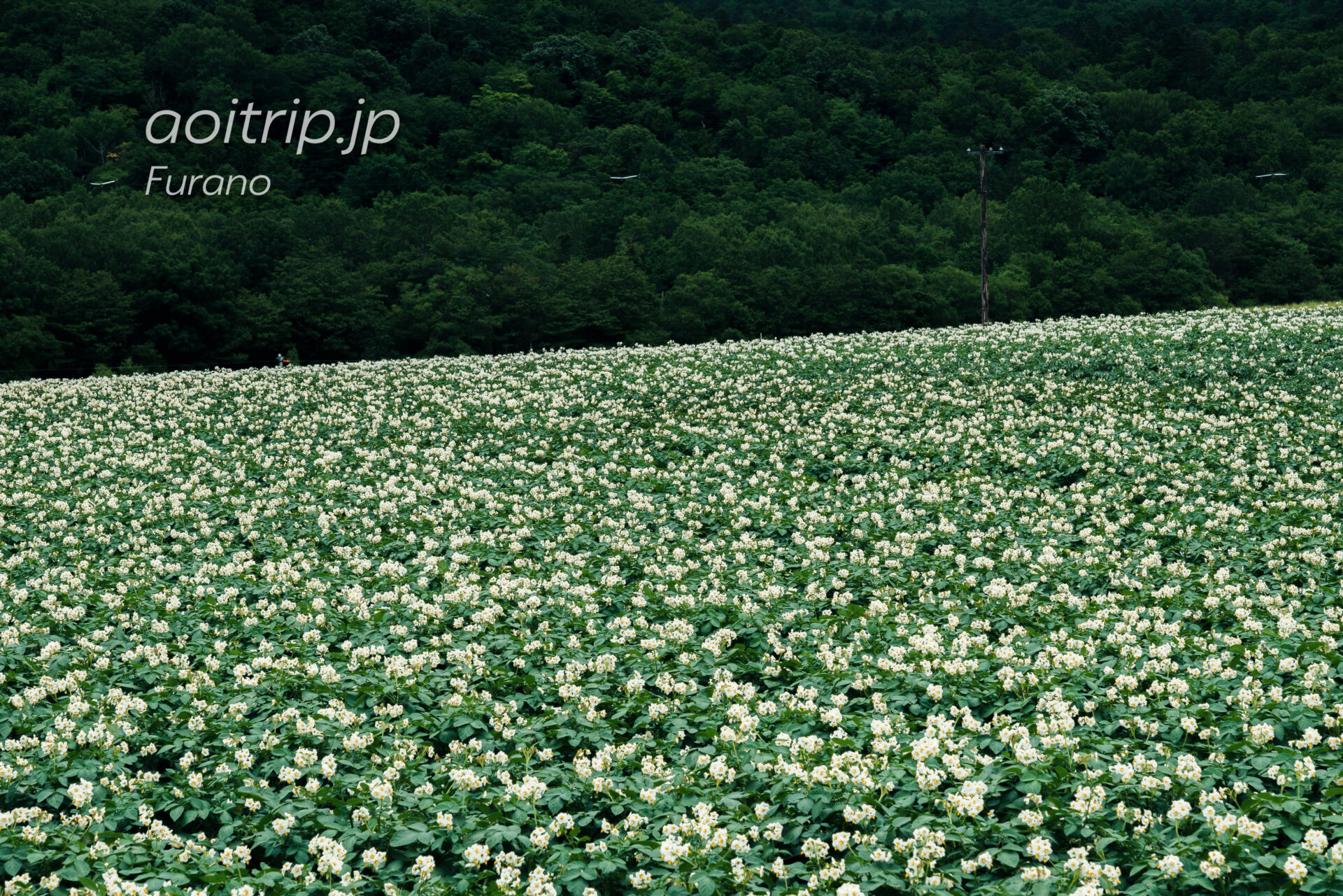 五郎の石の家の近くのジャガイモ畑 じゃがいもの花
