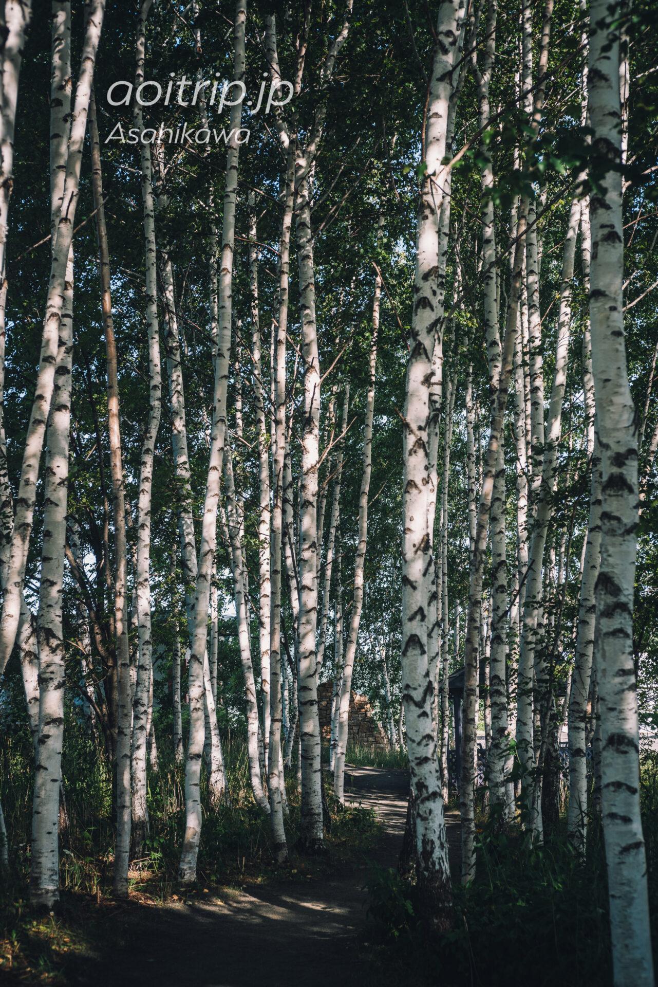 上野ファーム 白樺の小道 White Birch Path